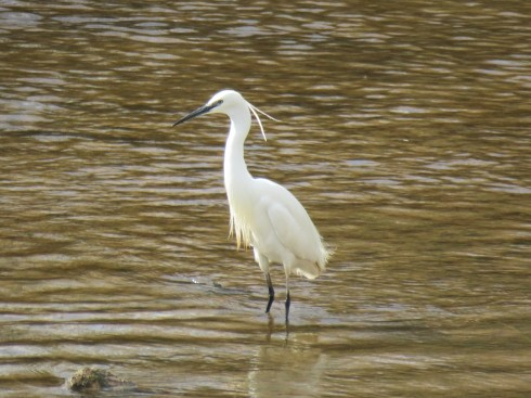 Egret trying to find lunch in the Arade River in Silves.
