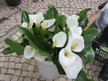 Calla Lillies for sale...three stems for 1 euro!