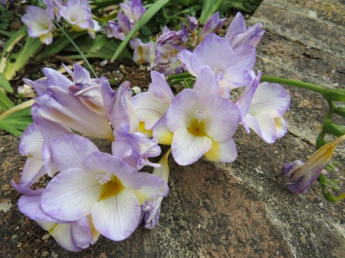 Yet more freesia. Sweetly scenting the air and of course visually it simply makes me smile.