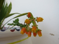 This is a very very tiny cluster of flowers on an equally tiny succulent. What vibrant orange it is.