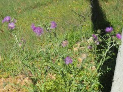 I love the thistles despite loosing my balance today and landing ass first in a large patch.