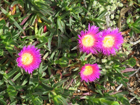 I love the name of this plant....Hottentot Fig.
