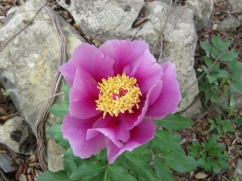 We rounded a bend in the path and there, on the embankment, a tall single wild peony in all it's gorgeous glory.